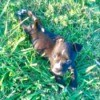 Is My Pit Bull Puppy Pure Bred? - puppy in the grass