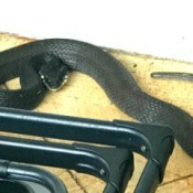 What Kind of Snake Is This? - dark gray or black snake