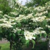 A viburnum tree in bloom.