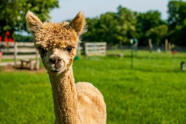 alpaca manure   garden thriftyfun