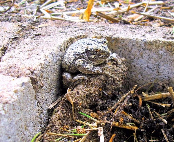 Yoda Toad - toad sitting in the corner of a cinder block garden block