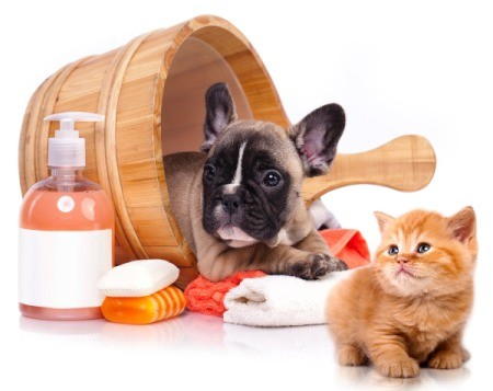 Start Grooming Puppies Early - French Bull Dog Puppy in wash tub with grooming supplies and kitten