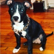 Is My Pit Bull Full Blooded? - black and white dog