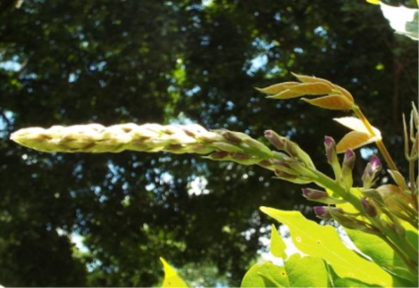 Expect The Unexpected When Gardening - Blooming Wisteria - closeup of flower ready to bloom