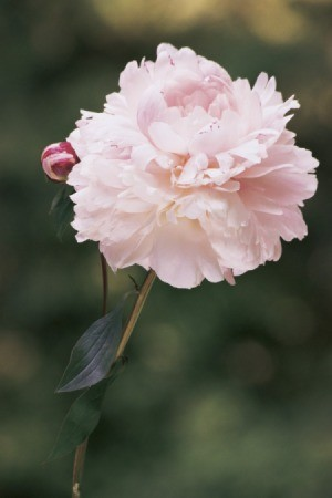 A pink peony bloom.