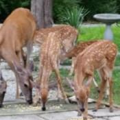 Fawns and older deer eating food.