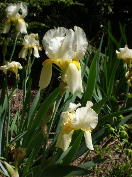 White Iris  - white and yellow iris