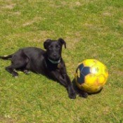 What Breed Is My Dog? - black puppy in yard with soccer ball