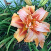 Orange Daylily - orange lily with darker color towards center on petals