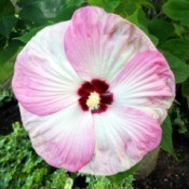 Hibiscus Pink Swirl - pink and white  bloom with dark red center