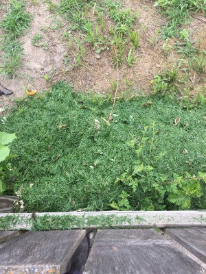 Use Yard Clippings to Keep Weeds Away - grass clipping as mulch