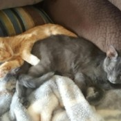 Peanut and Taylor (Tabby Cats) - gray and and orange and white tabby cats