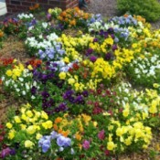 A Beautiful Assortment of Pansies