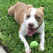 Is My Pit Bull Full Blooded? - tan and white dog with a tennis ball