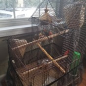 Breeding Zebra Finches - large cage with nests