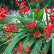 What Is This Garden Plant? - red  crocosmia flowers