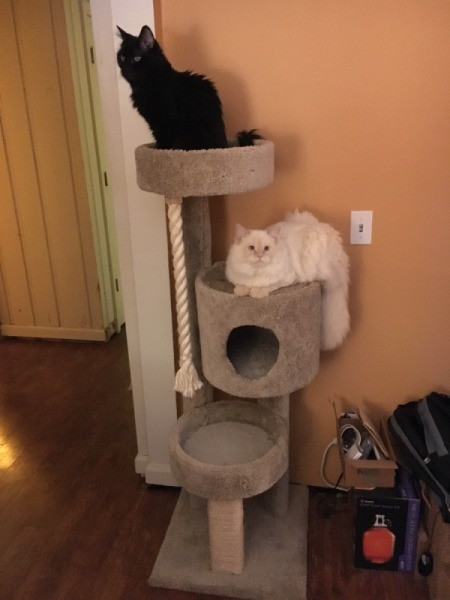 Introducing New Kitten to Resident Cats - cats on cat tree