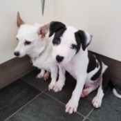 What Breed Is My Dog? - black and white puppy next to white older dog