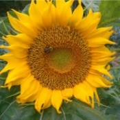 Sunflowers for the Endangered Bumblebee - large sunflower