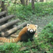 A red panda at a park in Chengdu, China.