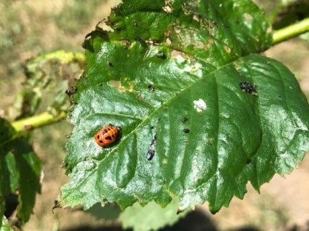 An Asian ladybug larvae on a leaf.