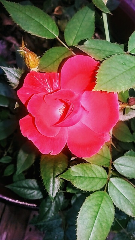 A red rose with the petals in full bloom.