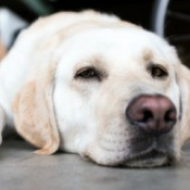 A yellow lab laying on a cement floor.