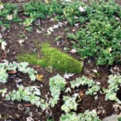 Ivies As Groundcovers - different types of ivy
