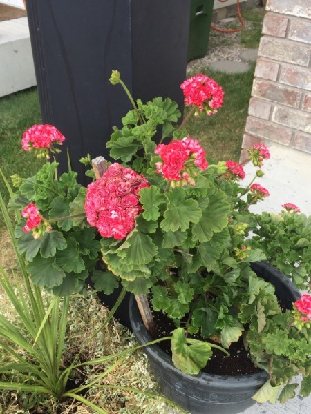 What Kind of Geranium Is This?