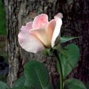 Pristine Rose At Dusk - pretty pink rose