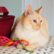 Buttercup (Flame Point Siamese Mix)