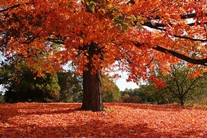 Picture of A Maple Tree in Fall