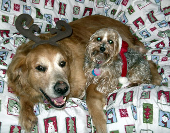 Calvin and Riley (Golden Retriever/Yorkie)