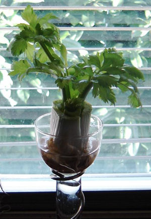 Windowsill Celery Hearts