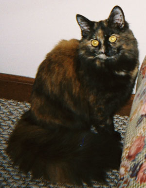 Molly Mew (Tortoise Shell Calico)