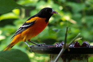 Oriole in My Garden