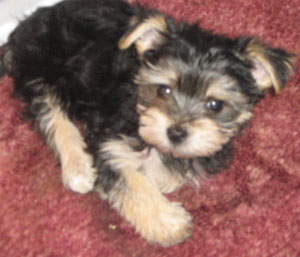 Scooter (Morkie)