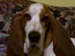 Humphrey (Basset Hound)
