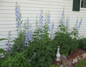Tracy's Delphiniums