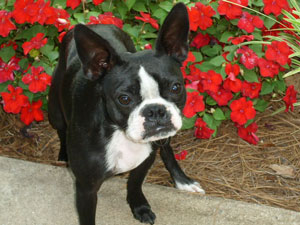 Panda Lu (Boston Terrier Bulldog)