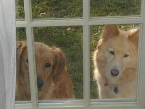 Kona (Golden Retriever) and Hannah (Samoyed/Golden Retriever)