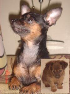 Dorina (Mini Pinscher/Chihuahua