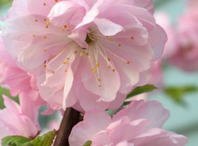 How to get a start from a flowering almond bush thriftyfun about the author ellen brown is an environmental writer and photographer and the owner of sustainable media an environmental media company that mightylinksfo Images
