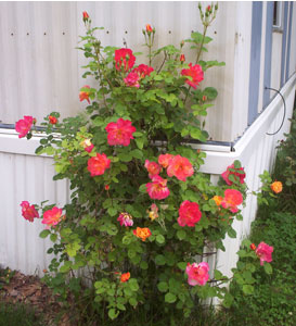 Multi Color Rosebush