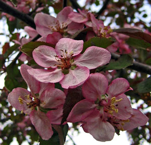 Apple Orchard In Bloom