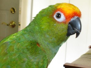 Charlie (Gold Crowned Conure)