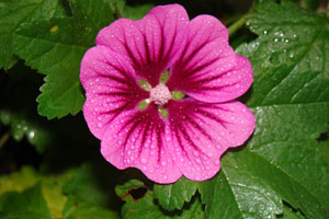 Purple Zebra Mallow