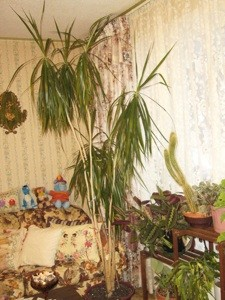 We Have Had This Palm Looking Plant In Our House For Over 25 Years It Was About 2 Ft High Now S Getting Too Tall Up To The Ceiling