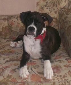 Max (Boxer)