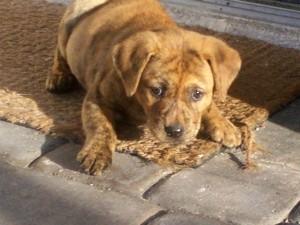 What Breed Is My Dog Sharpei Mix Thriftyfun